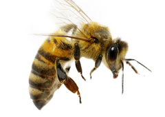 Close up photo of a honey bee.
