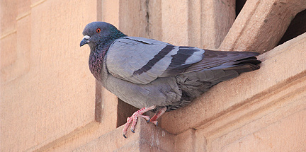 A pigeon before bird control treatment