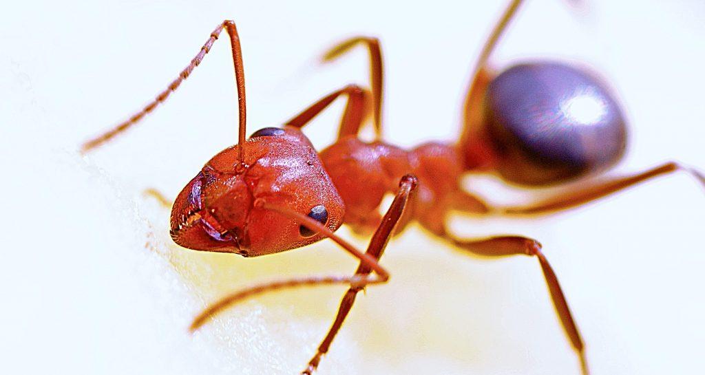 Fire ant macro