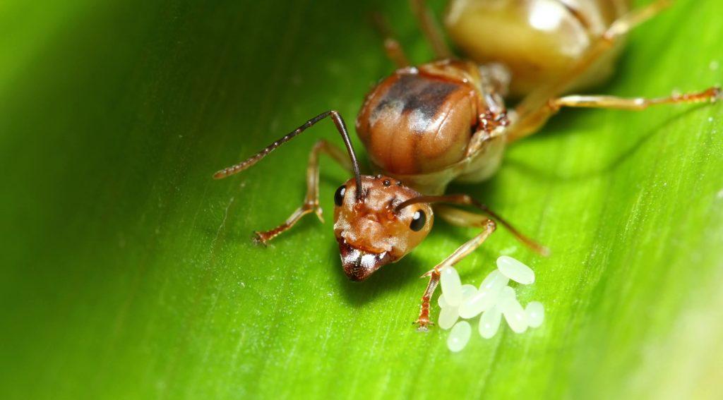 fire ant queen