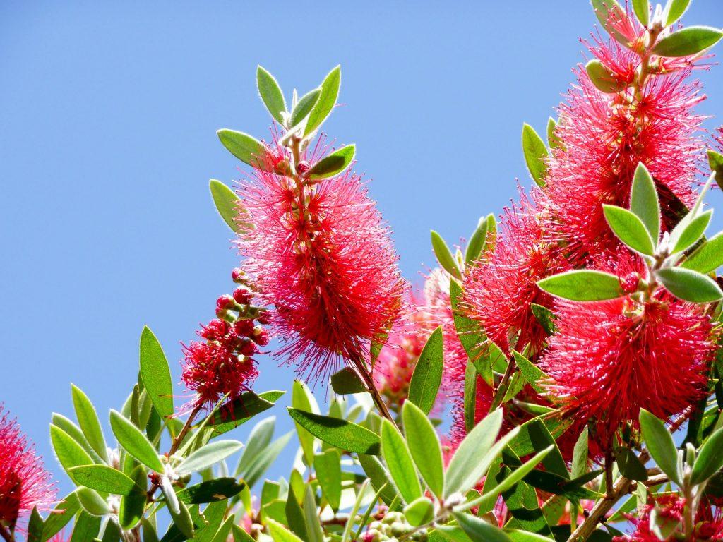 Flora Bottlebrush Garden Australia