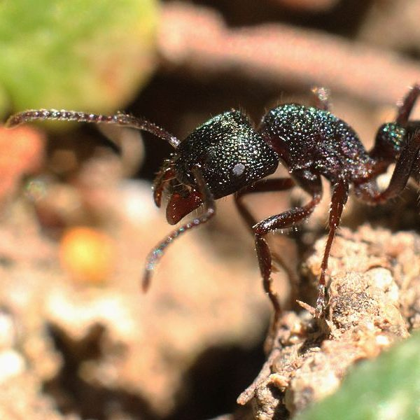 Green-head ant